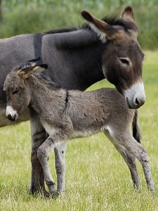 donkey-foal-and-mom-3